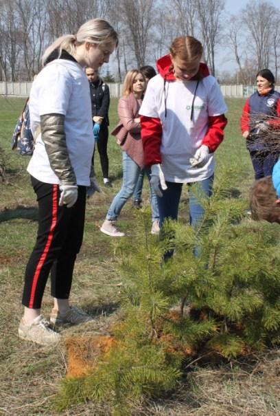 молодые сосны в парке села Троекурово